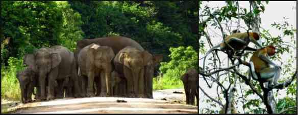 borneo pygmy elephants and proboscis monkeys