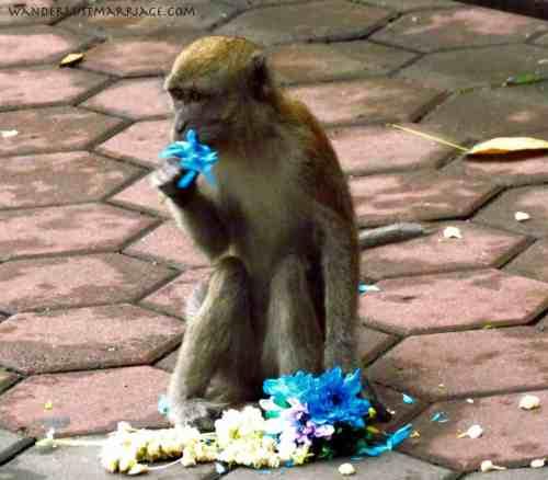 My flowers! Batu Caves monkies