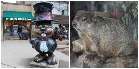 The real Punxsutawney Phil. The world's most famous weather predicting rodent!
