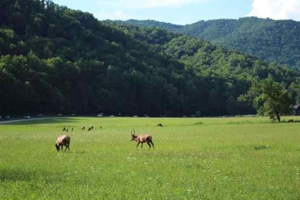Deer in Cherokee North Carolina, Blue Ridge Mountains