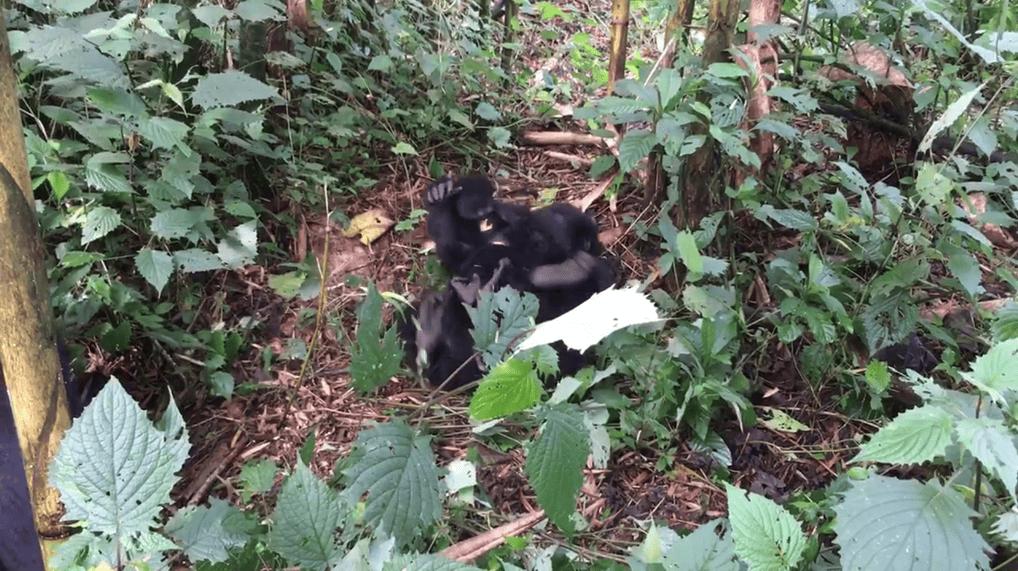 Gorillas Rwanda Header
