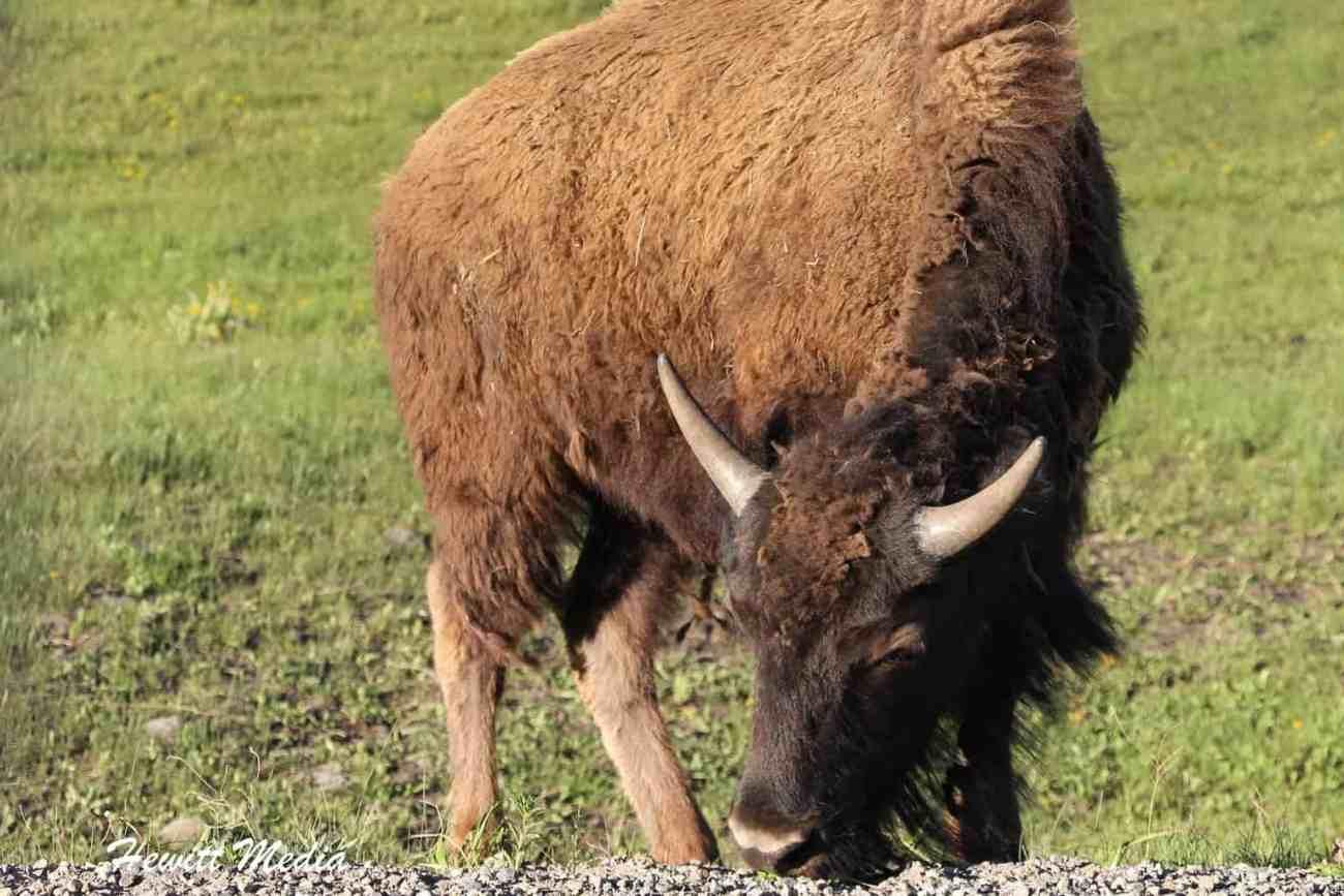Yellowstone-1136
