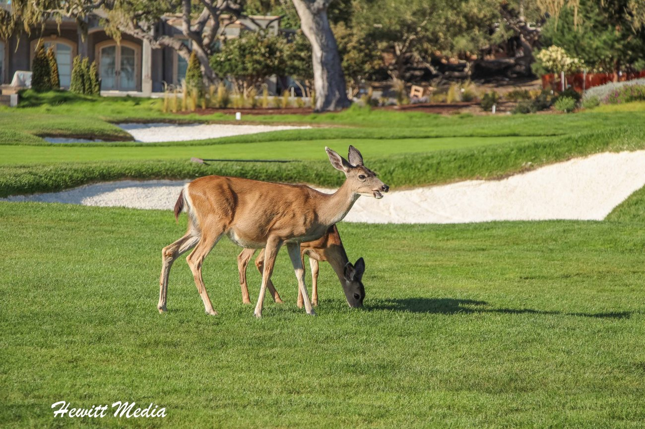 Deer on the course at Pebble Beach