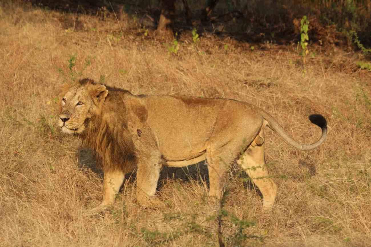 Asiatic_lion_02.jpg
