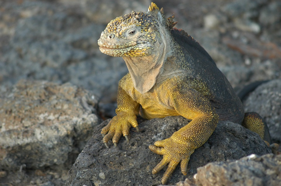 Galapagos Lizard.jpg