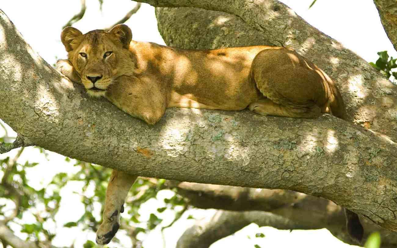 Lake Manyara Lion.jpg