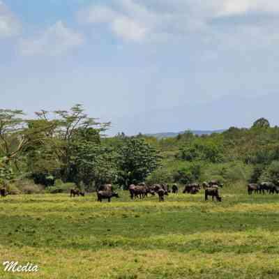Seeing buffalo while on walking safari