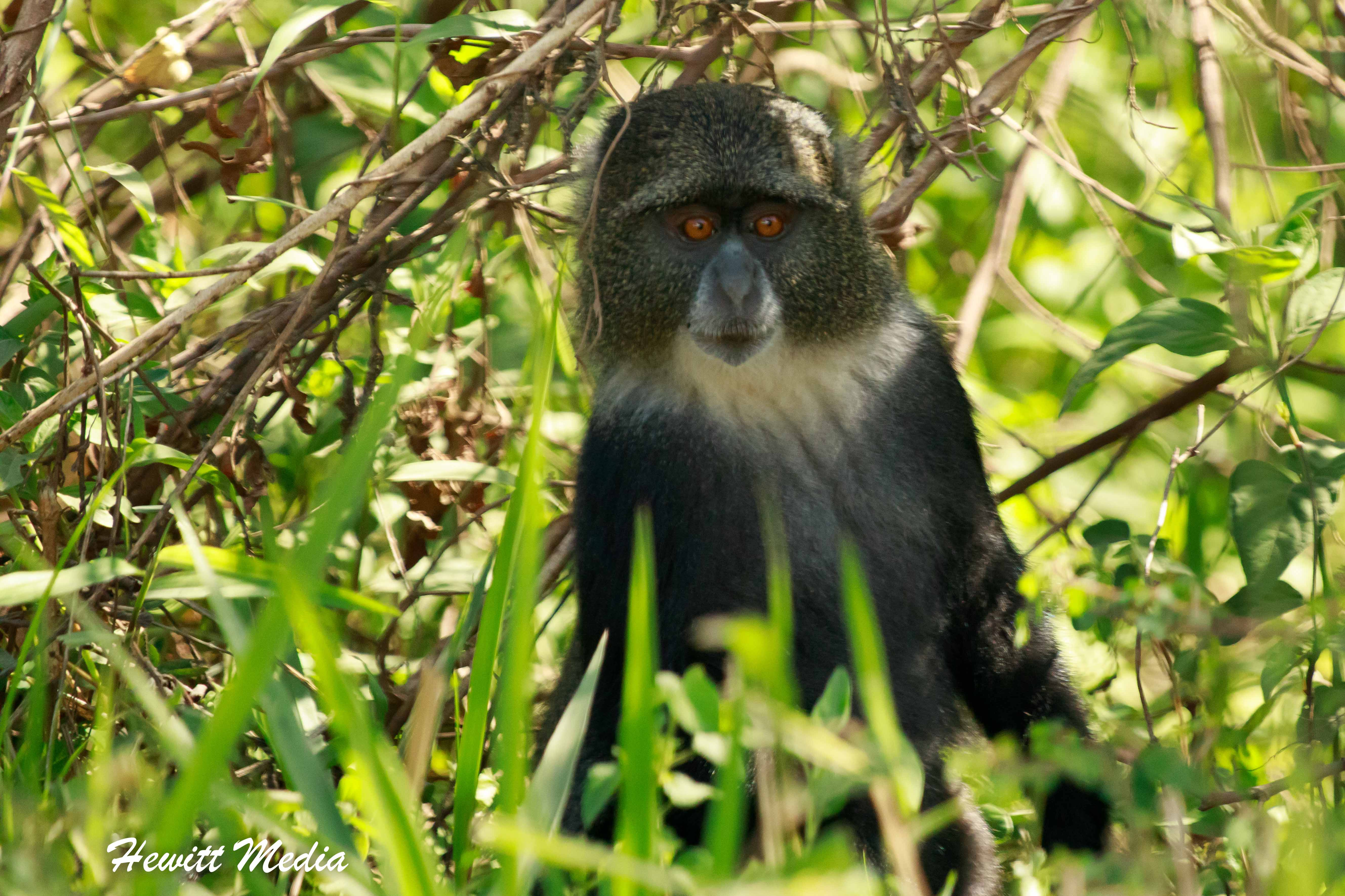 Colobus Monkey in Arusha National Park