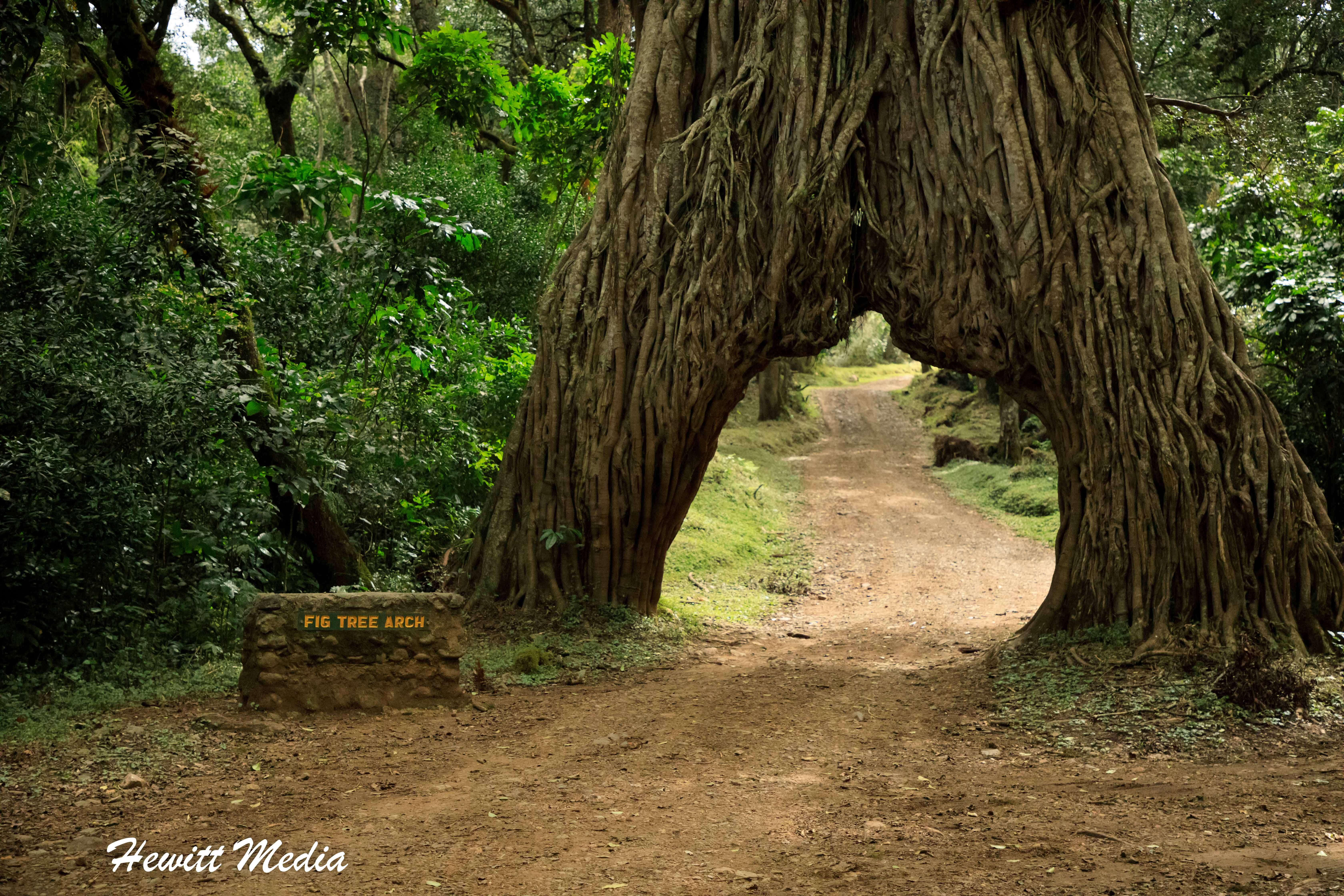 The Fig Tree Arch in Arusha National Park