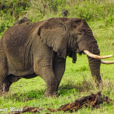 A bull elephant feeds on the hills on the side of the Ngorongoro Crater