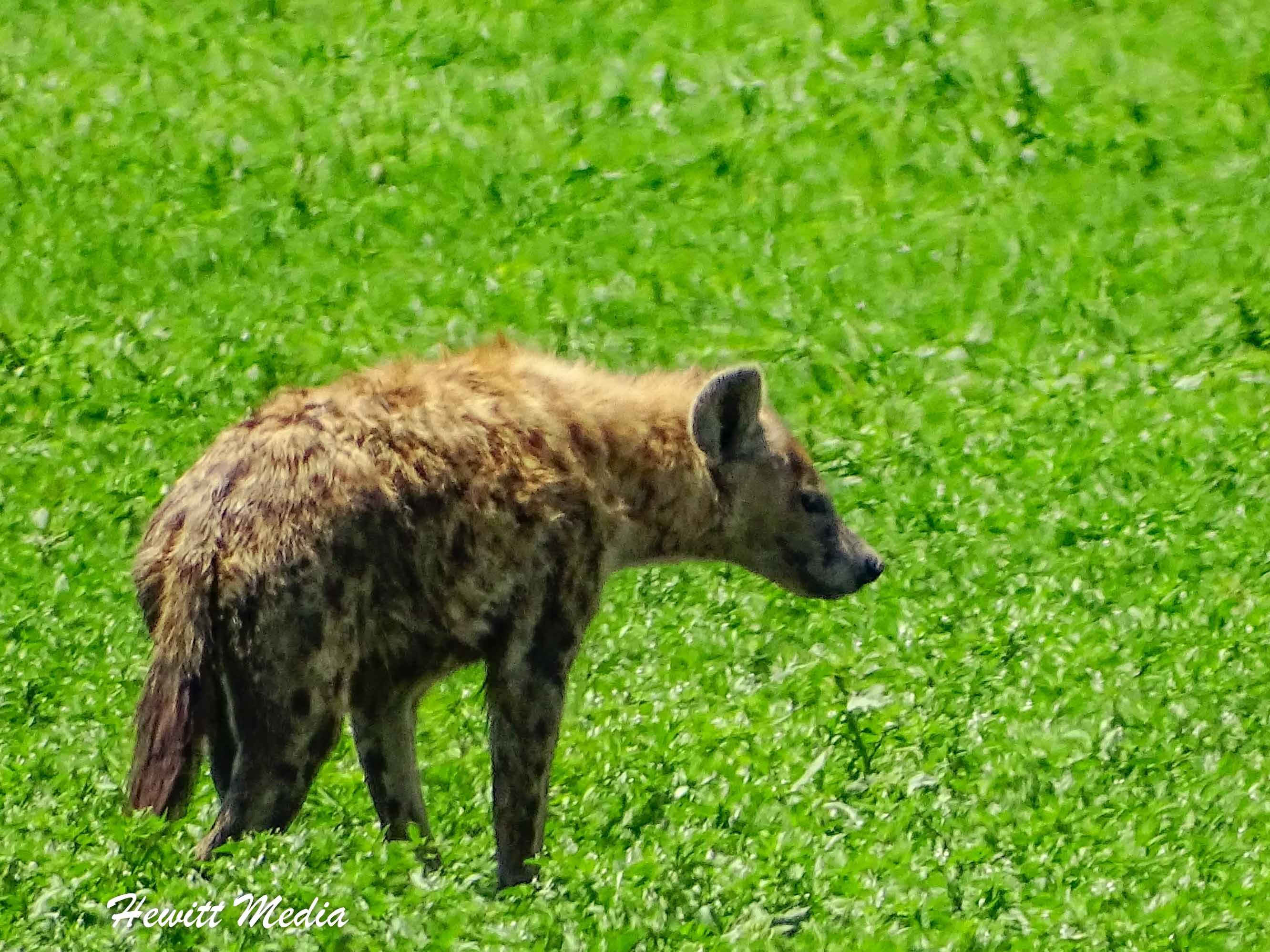 A spotted hyena looks for its next meal inside the Ngorongoro Crater