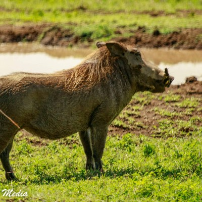 A warthog looking for a mud pit to cool off in inside the Ngorongoro Crater