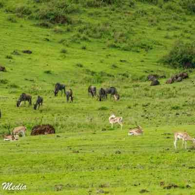 Wildlife feeding on the hills of the Ngorongoro Crater
