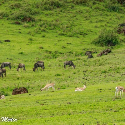 Wildlife feeding inside the Ngorongoro Crater