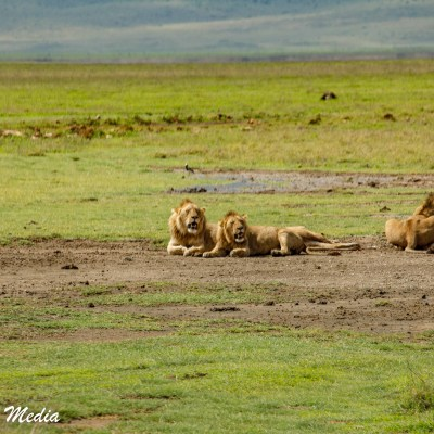 Lions rest in the mid day heat inside the Ngorongoro Crater