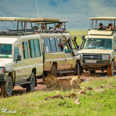 The lions will often use the safari vehicles as shade from the sun