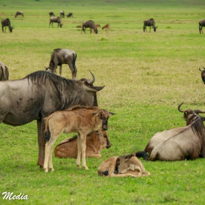 A baby wildebeest stays close to its mother inside the Ngorongoro Crater