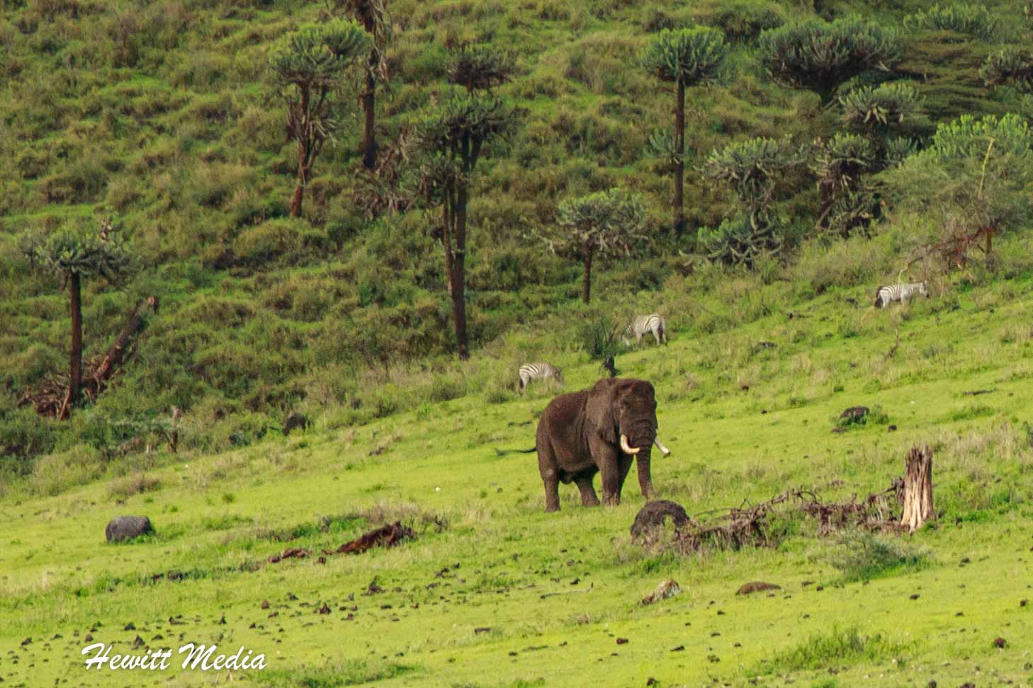 A bull elephant feeds inside the Ngorongoro Crater