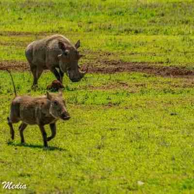 Two warthogs inside the Ngorongoro Crater