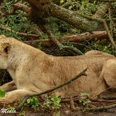 A lion protects her newborn babies in a thicket  in the Serengeti National Park