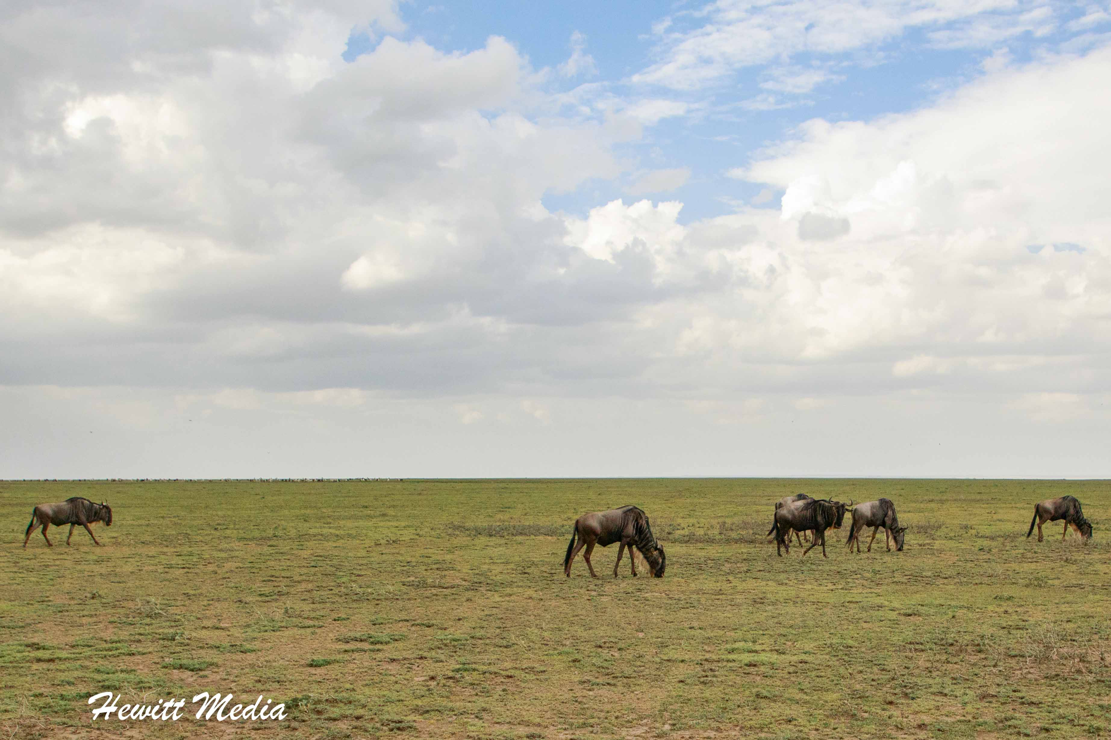Wildebeest in the Serengeti National Park