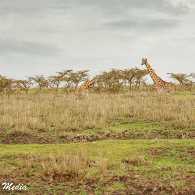 Giraffe graze in the Serengeti National Park