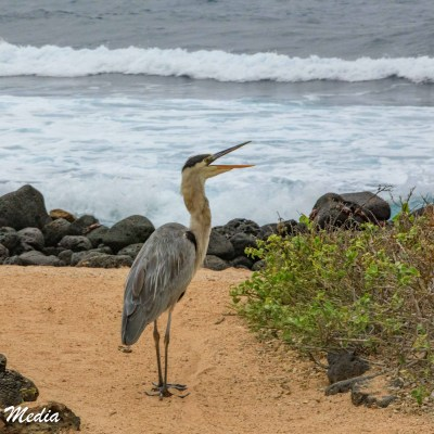 A Great Blue Heron searches a beach on Santa Cruz Island for food.