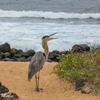 This Great Blue Heron searches a beach for food on Santa Cruz Island.