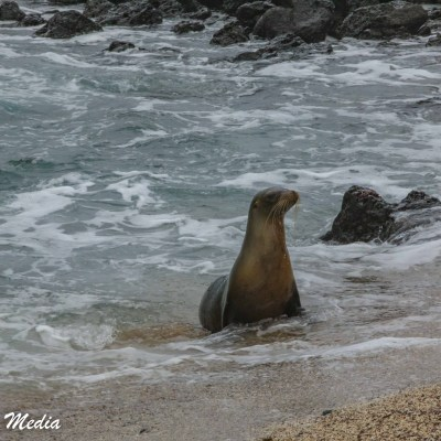 A Galápagos Sea Lion comes to shore on Santa Cruz Island.