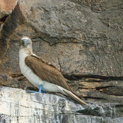 Blue-Footed Booby rests on a rock cliff off Santa Cruz Island.