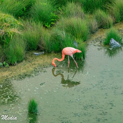 An American Flamingo feeds on Isabela Island.