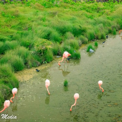 American Flamingos feeds in a shallow lake on Isabela Island.