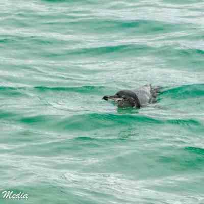 Galápagos Penguin swims off of Isabela Island.