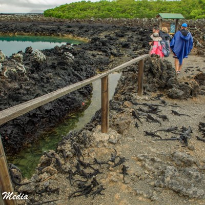 Baby Marine Iguanas seek refuge in the lava rocks near Tintoreras off Isabela Island.