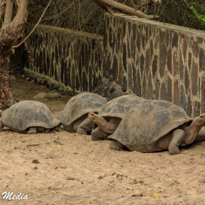 Galápagos Giant Tortoises at the Charles Darwin Research Station.