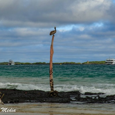 Galápagos Brown Pelican rests on a pole on Isabela Island.