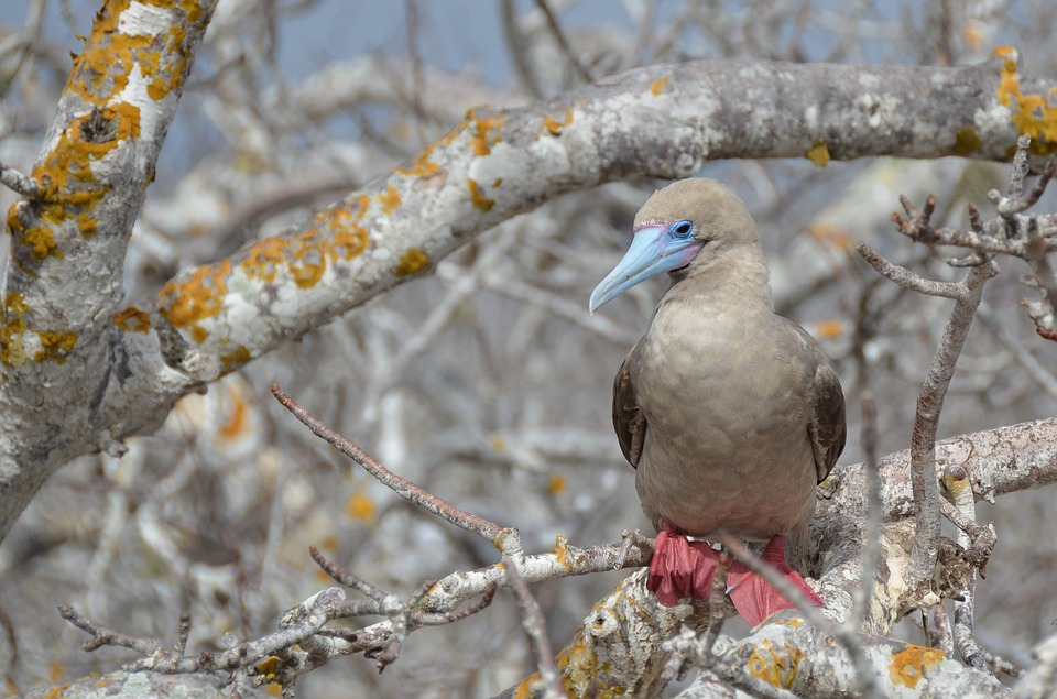 Red Footed Booby.jpg
