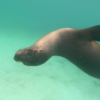 Galápagos Sea Lion plays with us while snorkeling off of Isabela Island.