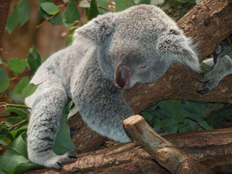 koala-bear-9960_960_720.jpg