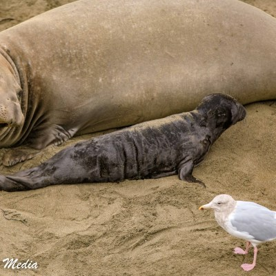 Mother and pup Northern Elephant Seals
