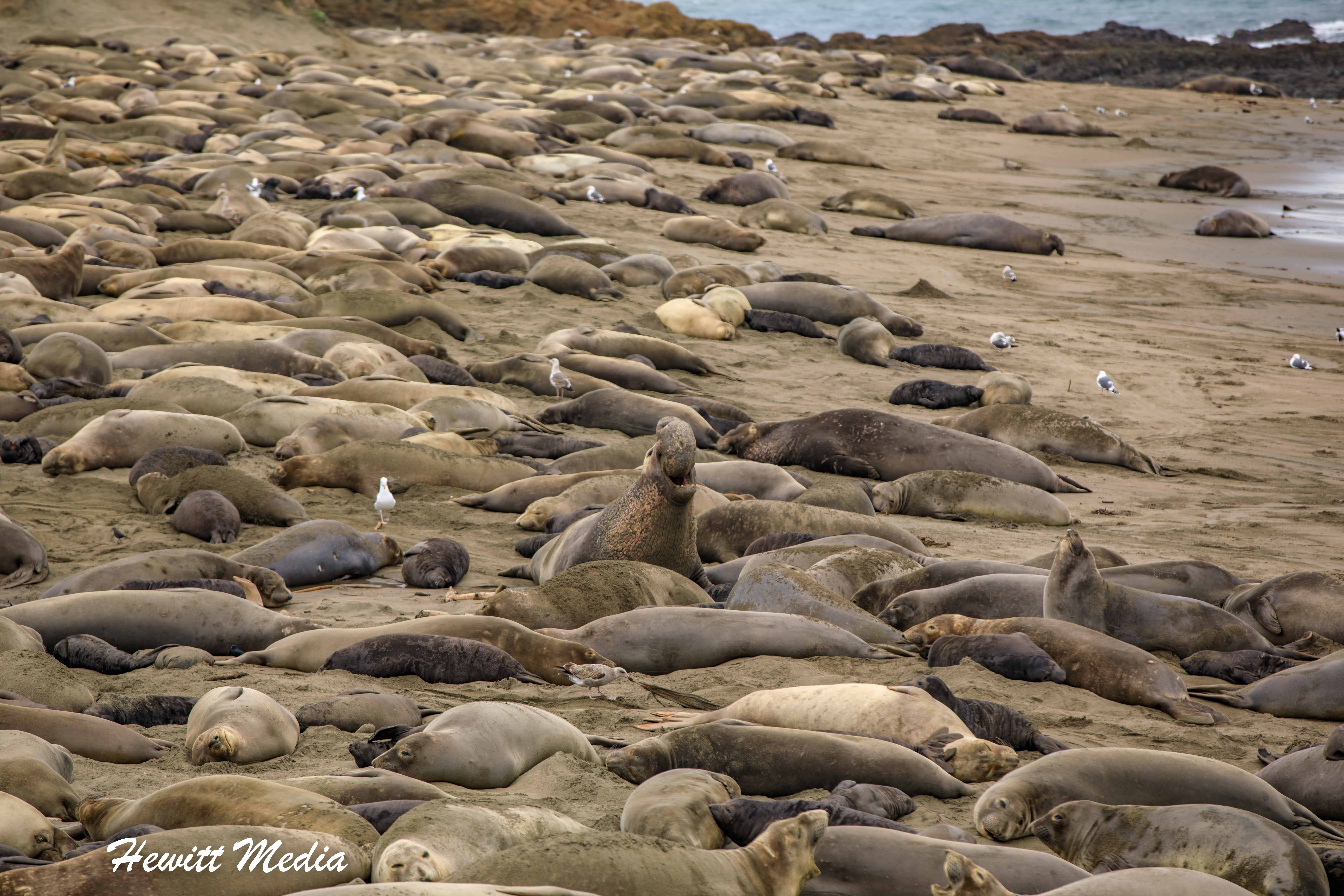 Northern Elephant Seal Rookery at Point Piedras Blancas