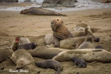 Northern Elephan Seals