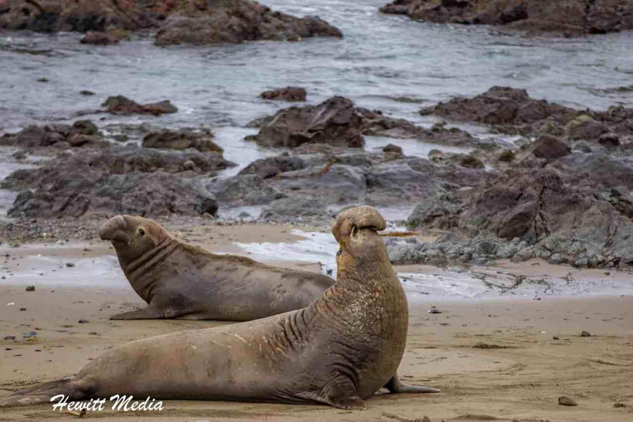 California Elephant Seals Visit-1220