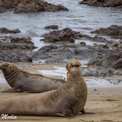 Adult Male Elephant Seal at Point Piedras Blancas