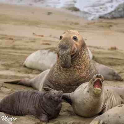 Elephant Seals at Point Piedras Blancas