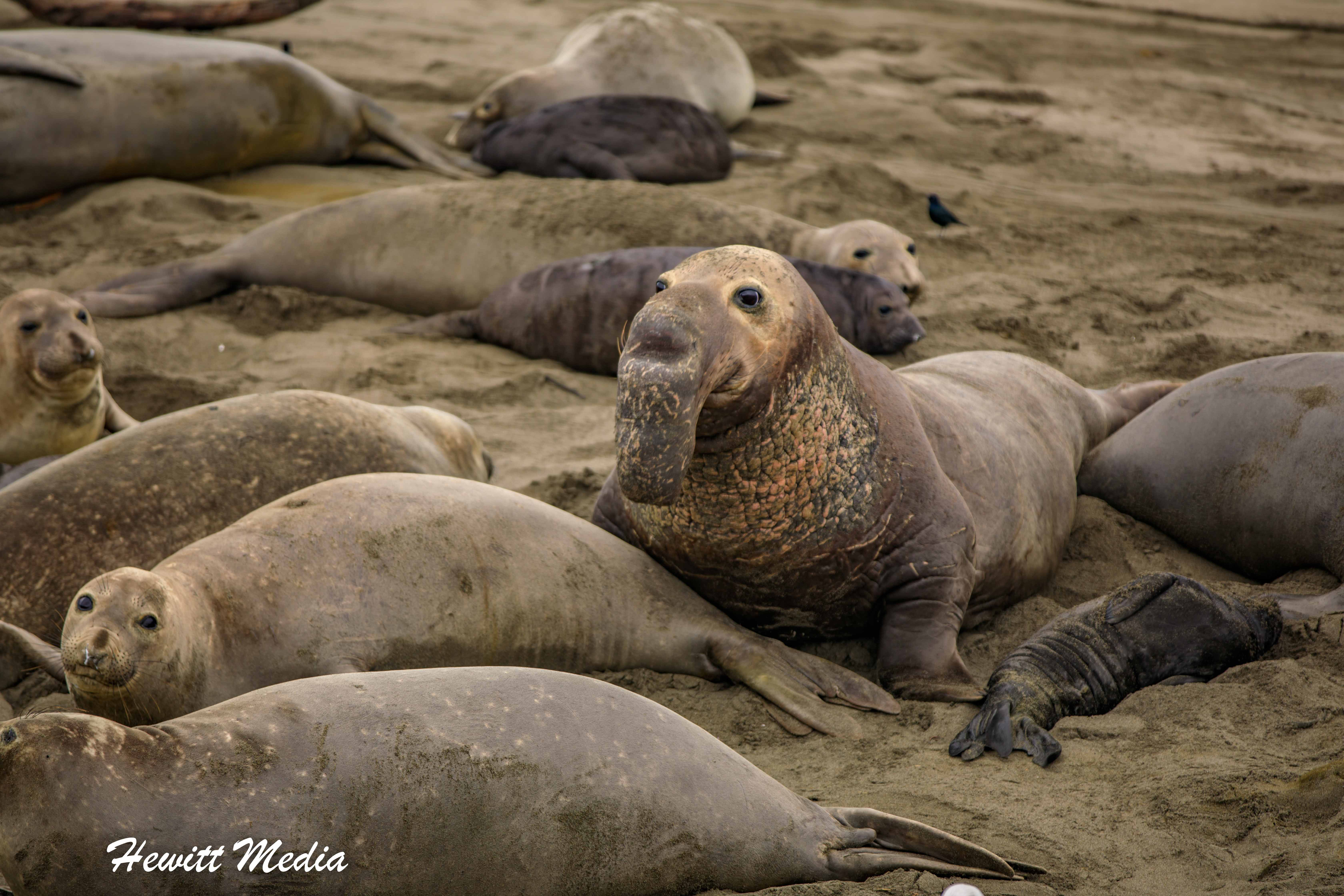 Adult male Northern Elephant Seal