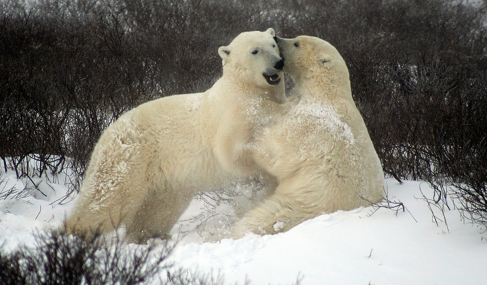 Churchill Polar Bears.jpg