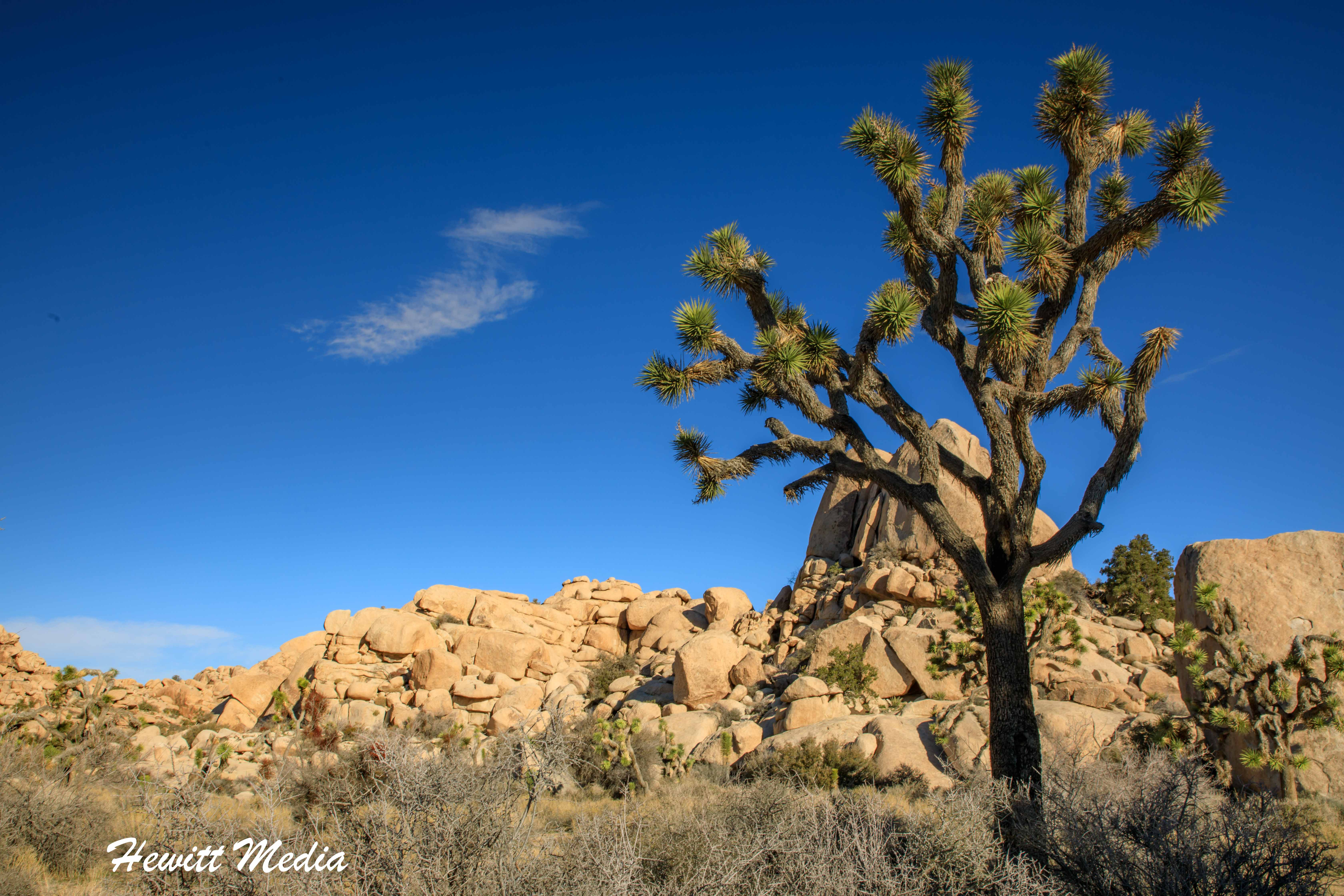 A beautiful Joshua Tree