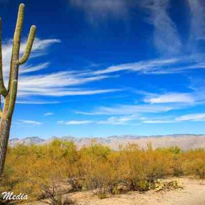 Giant Saguaro Cactus