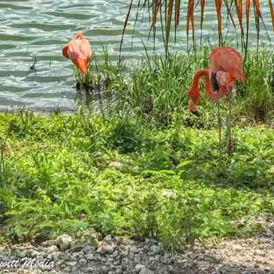 Flamingos at the Lake Barcelo golf course